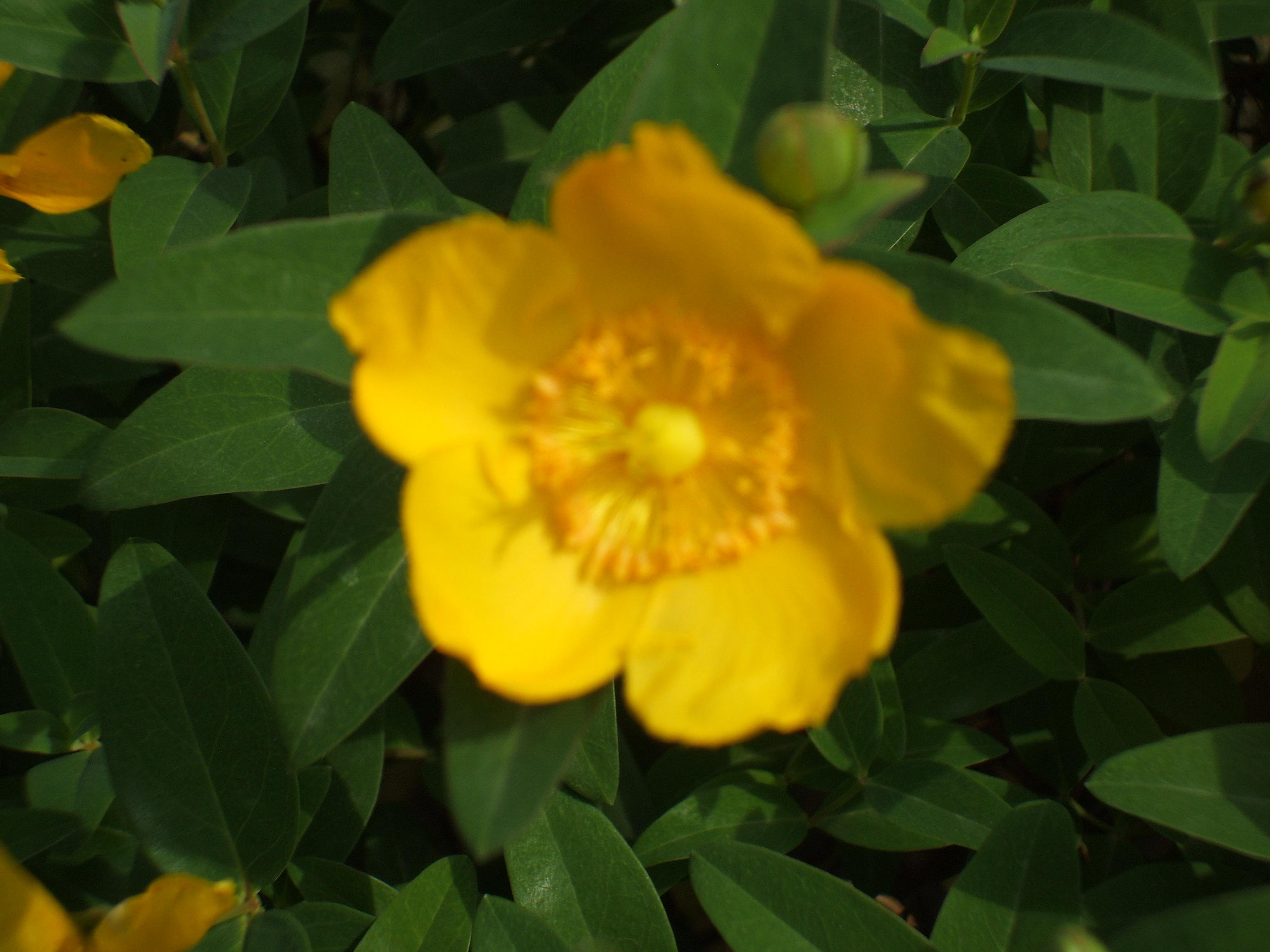 Iperico, il fiore di San Giovanni (foto personale)